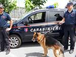 Cani Antidroga Carabinieri Albenga Nucleo Cinofilo Cane Konny