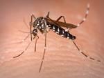 Zanzara Coreana
