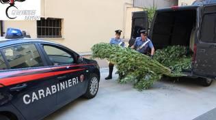 Carabinieri Sequestro Marijuana Stella