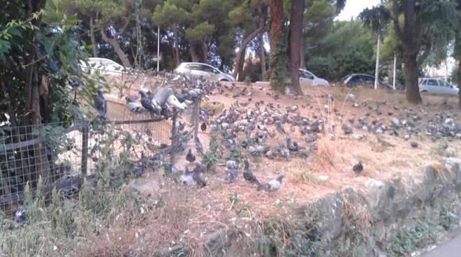 Invasione di piccioni ad Albaro