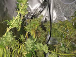 marijuana sestri ponente