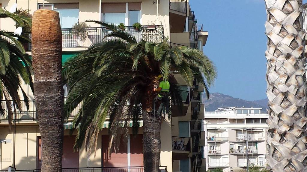 Loano Palme Capitozzate Piazza Mazzini