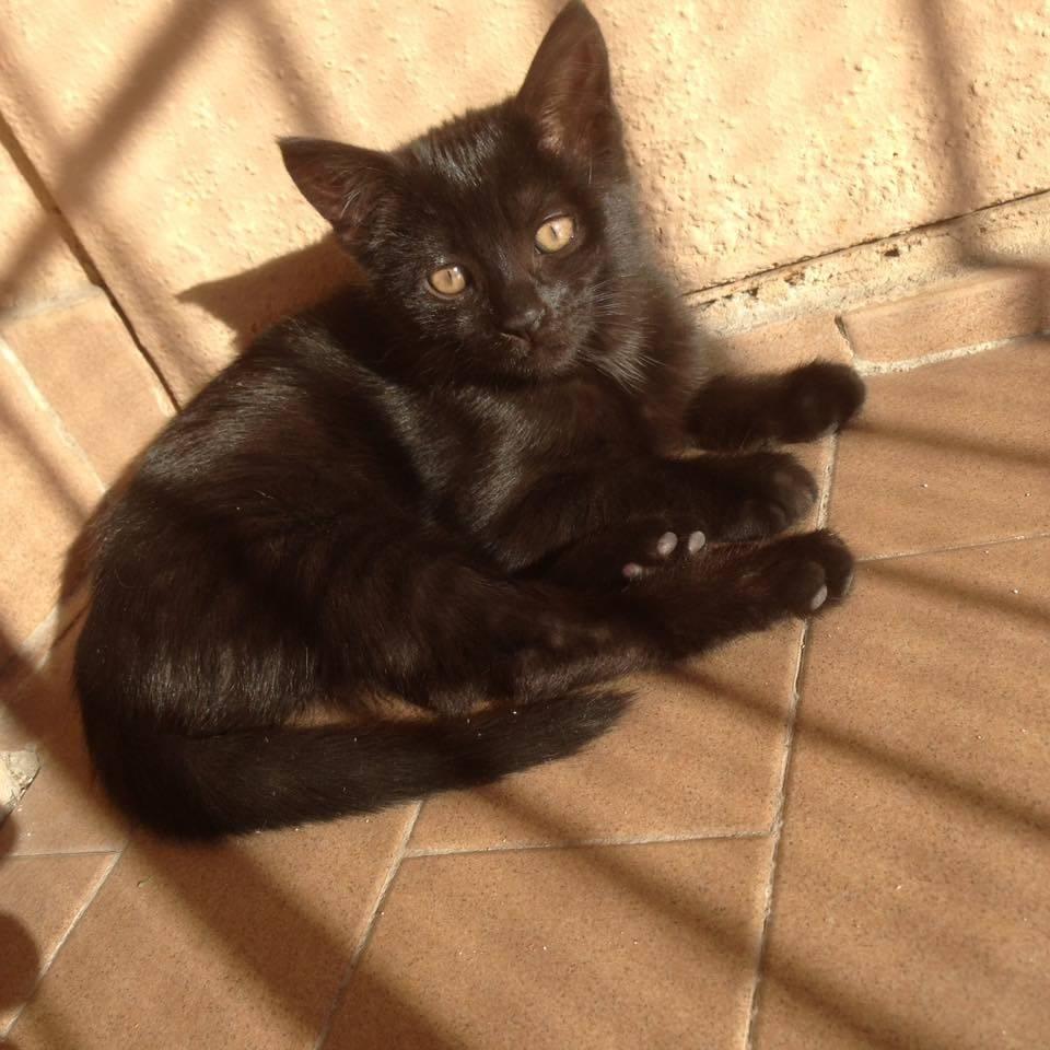 Gatto nero micio Cat