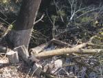 tronchi alberi diga Piana Crixia