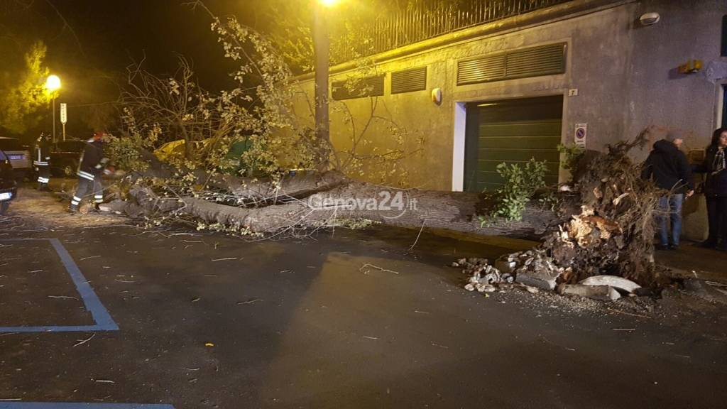 albero caduto carignano