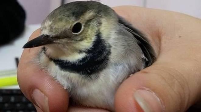 Uccello Soccorso Albenga Bracconieri