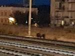 cinghiali ferrovia