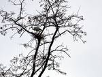 Cicogna cinerina a Sturla