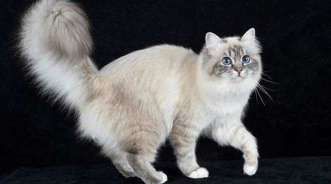 Gatti, mostra felina