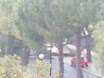 Pino crolla in strada ad Albenga