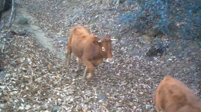 vacche ribelli