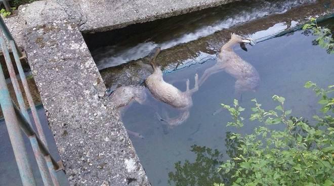 caprioli morti vobbia