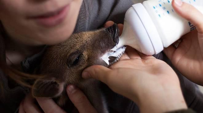 Cucciolo di cinghiale allattato dai volontari Enpa