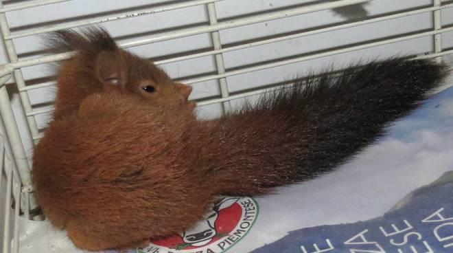 scoiattolo enpa