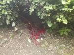 cinghiale ucciso galliera sangue