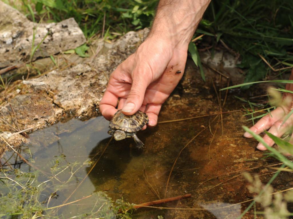 Una decine di tartarughe Emys liberate sulla piana d'Albenga