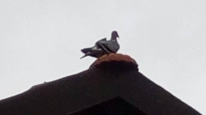 piccione spia