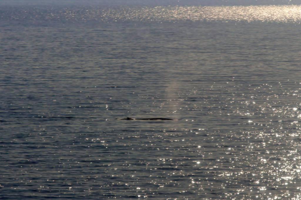 Ritornano le balene nel Mediterraneo Centrale