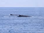 sule, balene, delfini