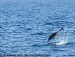 Delfini giocano nella Baia del Sole