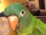 pappagallo tato