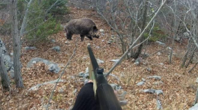 caccia cinghiale