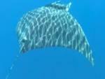 delfini manta fondazione cita