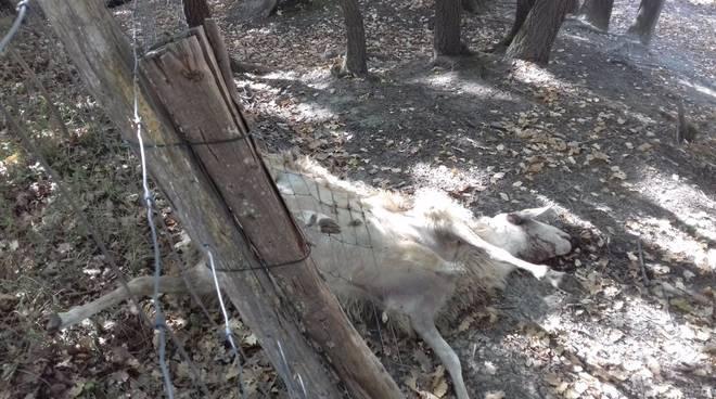 pecore uccise