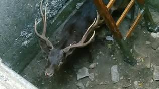 Cervo precipita a 4 metri di profondità in un pozzo a Spotorno