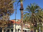 palma dattilifera punteruolo Albenga