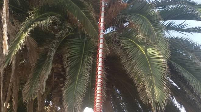 punteruolo rosso palme albissola