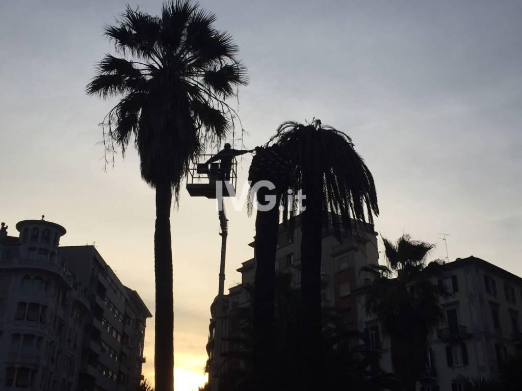 Rimosse le palme malate in piazza Saffi
