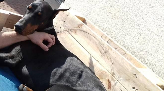 cane dobermann smarrito