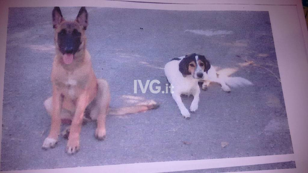 Smarriti due cani a Cisano