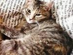gattine