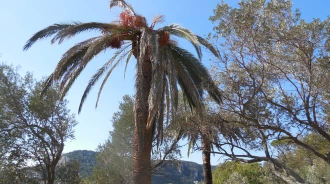 palme canariensis malate punteruolo