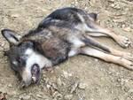 Trovato il cadavere di un giovane lupo a Roccavignale