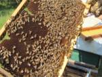 api apicoltori