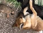 cani  morti