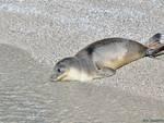 cucciolo foca liberata