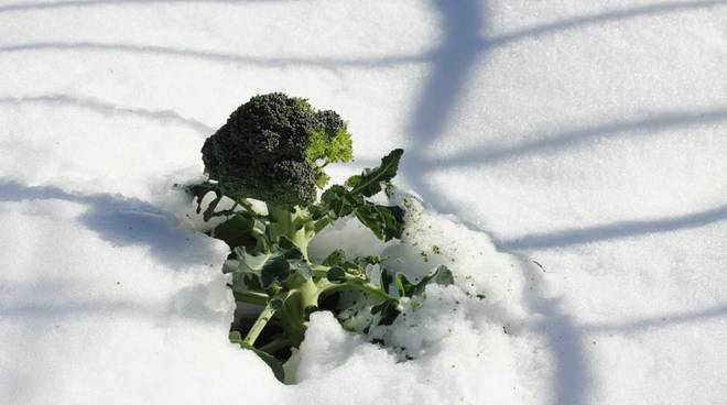 neve cavolo