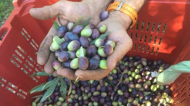 olio olivia