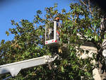 Potature magnolie Albenga