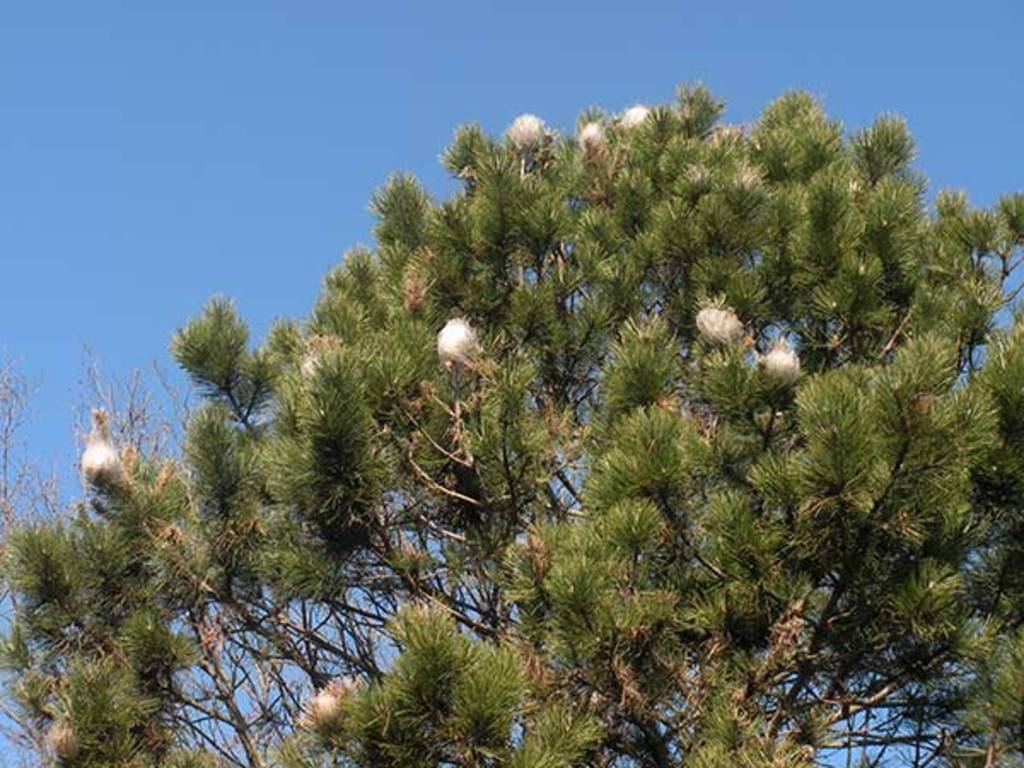 processionaria pino