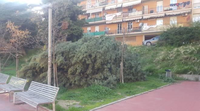 albero caduto buozzi