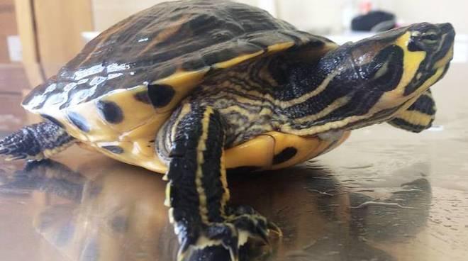 tartaruga orecchie gialle