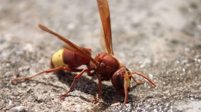 vespa orientalis