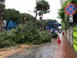 Il taglio dei pini di corso Tardy e Benech a Savona