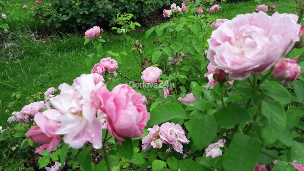 Parchi di Nervi : il dopo Euroflora ,molte chiusure , ma che  spettacolo del Roseto fiorito .