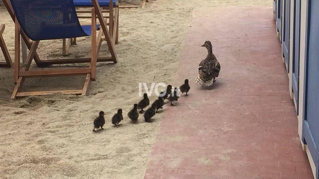 Mamma anatra e i suoi piccoli vanno in spiaggia a Pietra Ligure